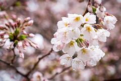 Wet Cherry Blossoms at UW
