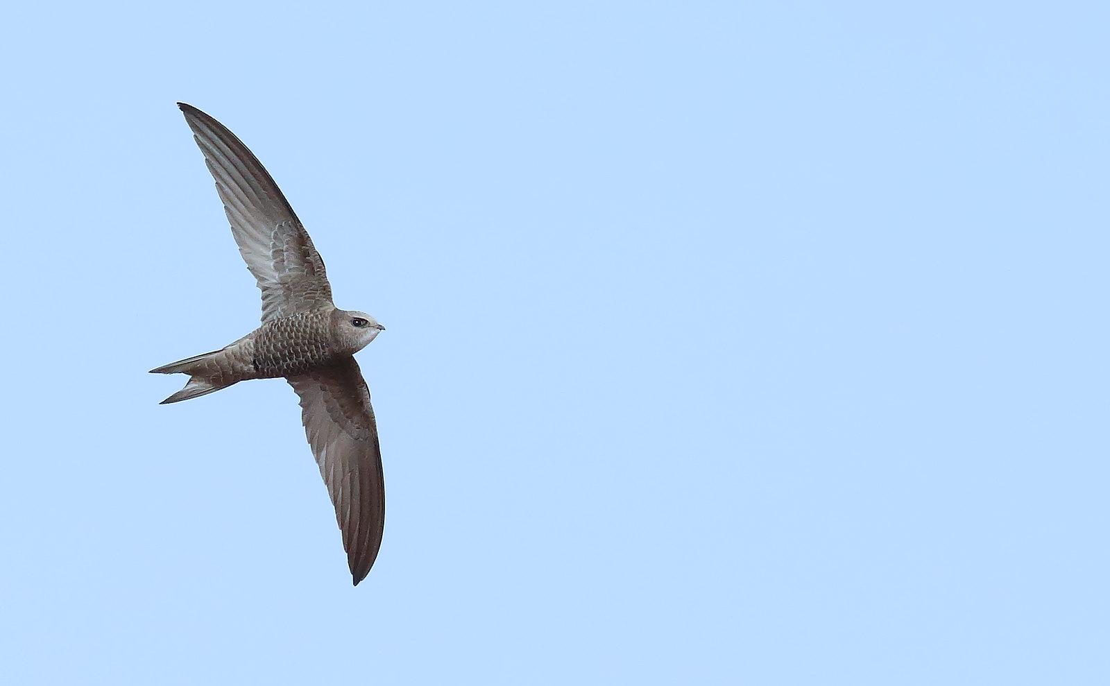 Pallid Swift