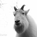 Small photo of Alber the Mountain Goat