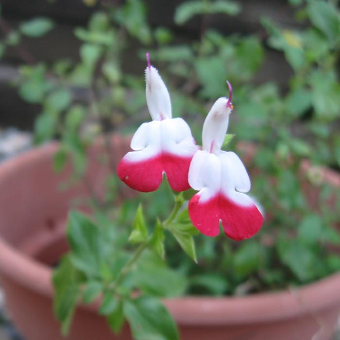 salvia red white