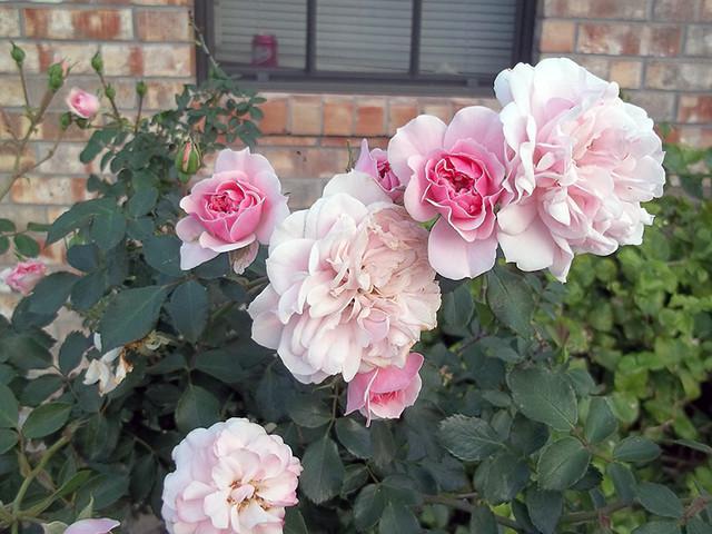 Mystery rose in full bloom