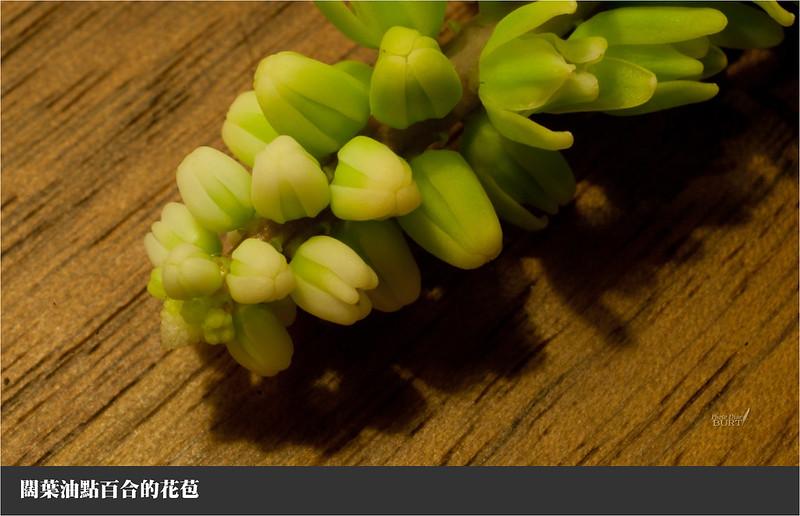 闊葉油點百合的花苞