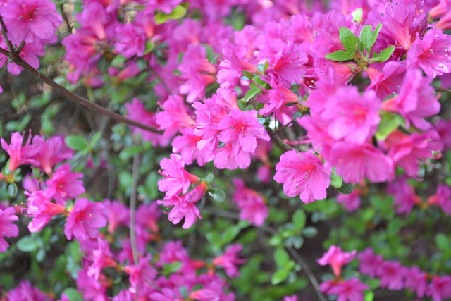 Rhododenron 'Fedora' (azalea cultivar) in the Osborne Garden. Photo by Morrigan McCarthy.