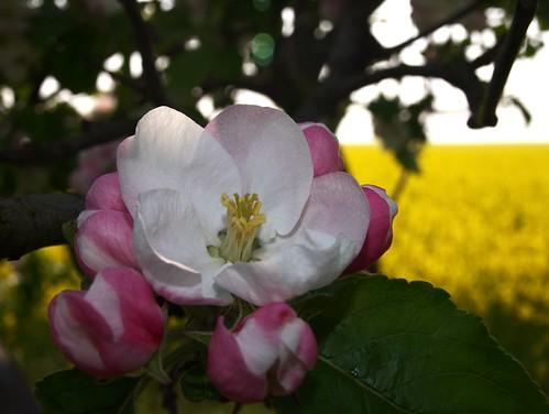 Apfelblüte am Rapsfeld