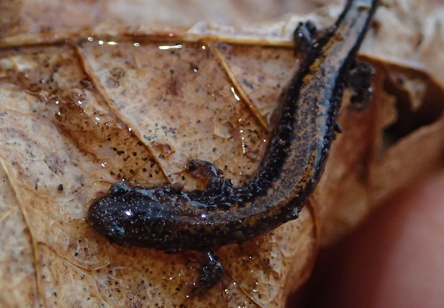 Redback Salamander