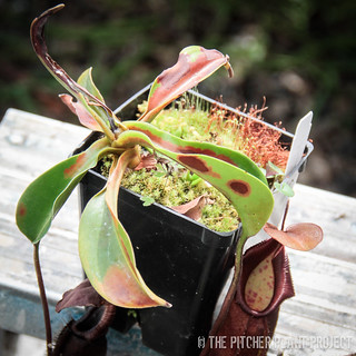 Nepenthes densiflora x truncata-1-3