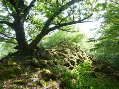 Baum auf dem Koppenstein