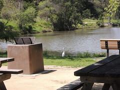 Great Egrett Milpitas CA (2)