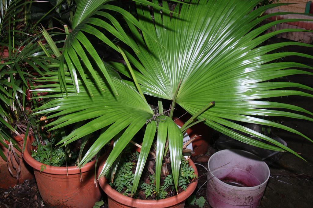棕櫚科 Livistona chinensis 蒲葵 20140523 頭家國小 校園植物_182