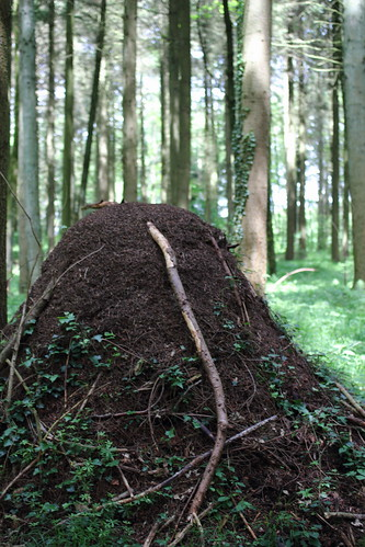 Large ant nest