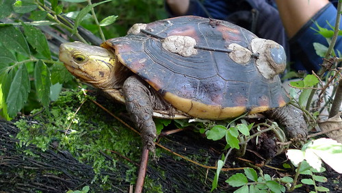 背殼黏上無線電發報器的食蛇龜(圖片來源:林務局)
