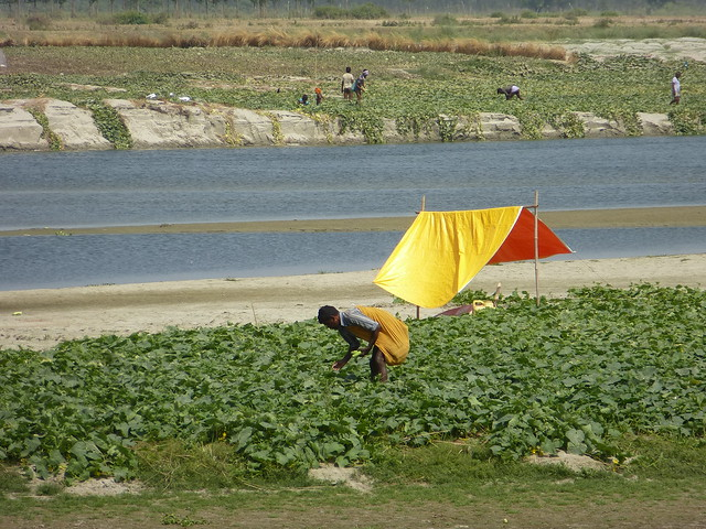 Man harvesting cucumbers, the river in the background