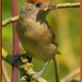 blackcap_MG_6258 by gladysperrier@btinternet.com