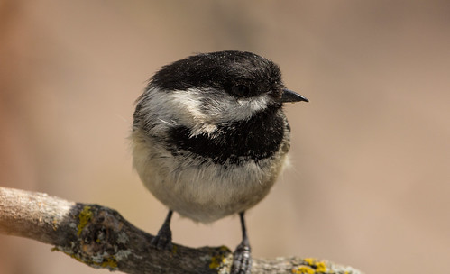 Black-capped Chickadee with deformed bill and foot