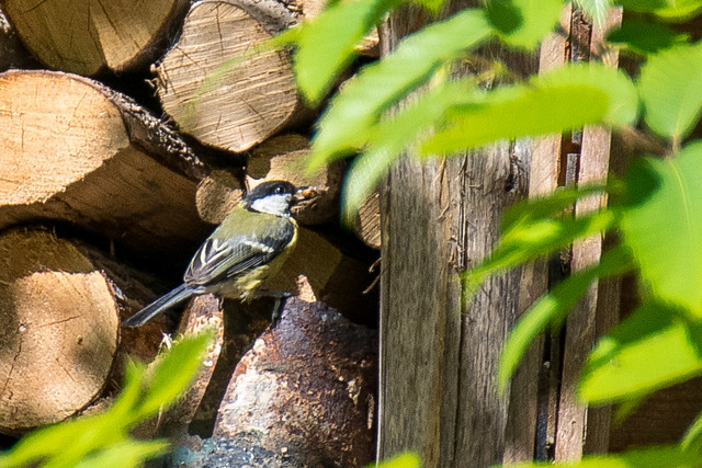 DSC_0561 Great tit nesting