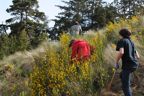 Although pretty, Scotch Broom is one of Oregon's worst invasive plants. (U.S. Forest Service)