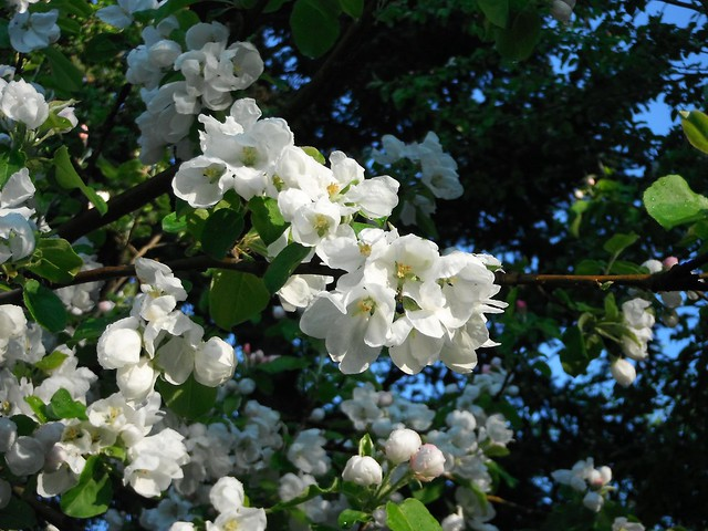 Apple blossom branch