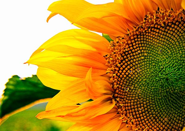 sunflower, sunflower field, שדה חמניות, פרח חמנייה