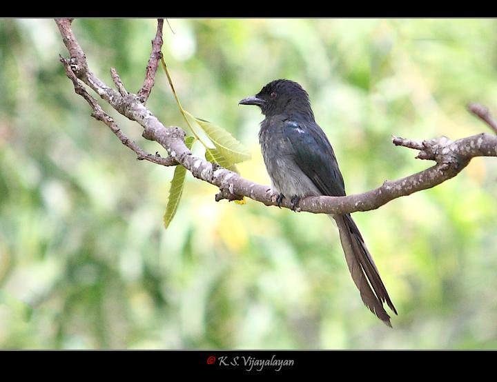 Ashy drongo, Sri Lanka
