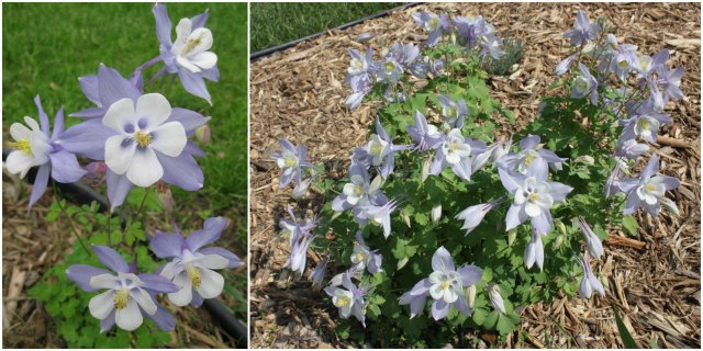 columbine comparison: 2013 vs. 2014