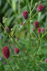 SANGUISORBA 'Beetlewings'