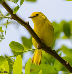 Yellow warbler at Chagrin River Park