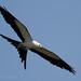 Swallow-tailed Kites of Dayton Texas