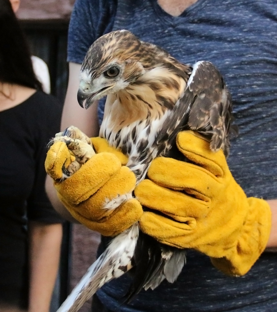 Tompkins Square hawk rescue