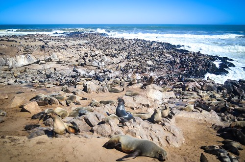 Cape Fur Seal Colony of Cape Cross, Namibia