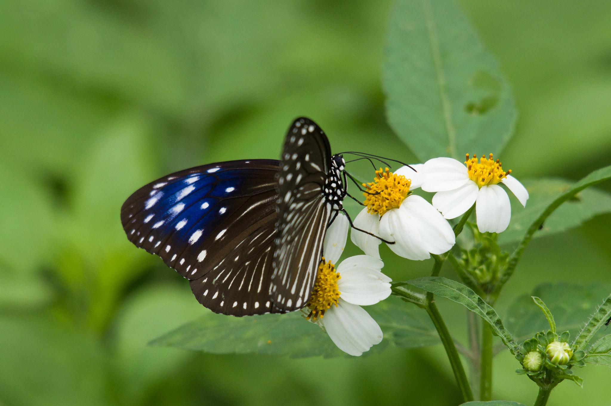 端紫斑蝶母蝶