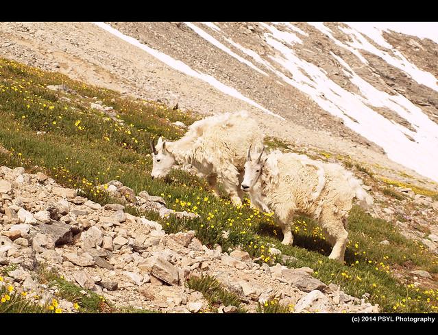 Rocky Mountain goats (Oreamnos americanus)
