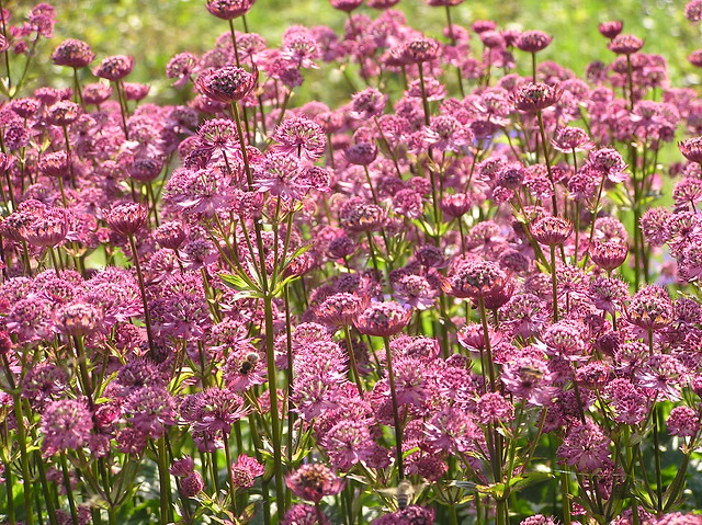 Astrantia major 'Star of Beauty', Tallinn Botanic Garden,