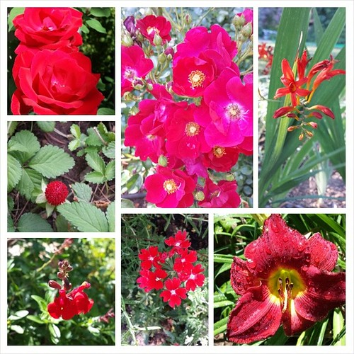 Last and best #summer #flowers #gardening #red #rose