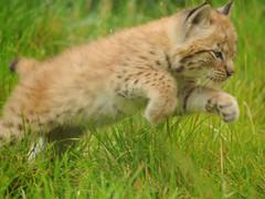 GaiaZOO - Lynx