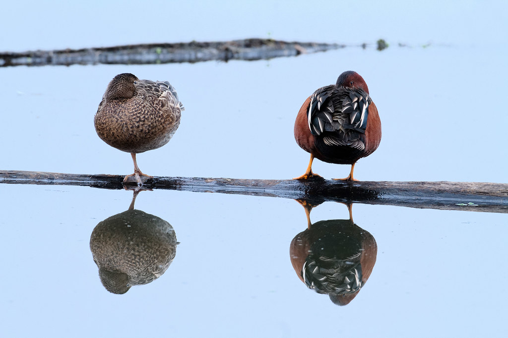 A cinnamon teal pair rests on a log in Long Lake