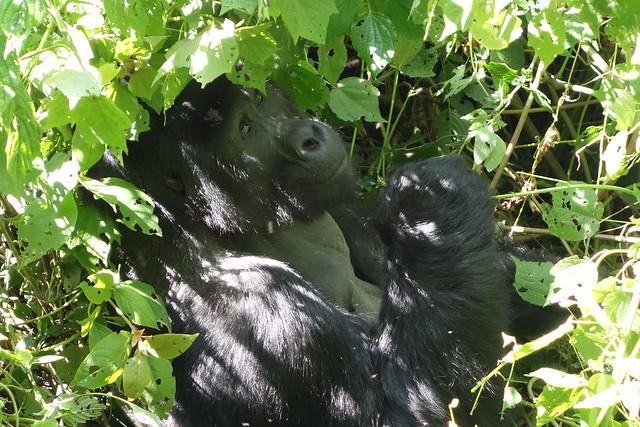 140625 Gorilla Silverback Bfast (12)
