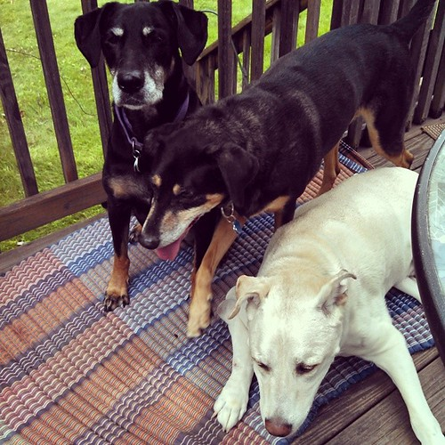 Good Morning from Lola, Tut & Zeus (where's Sophie?)! #dogstagram #happydog #seniordog #dobermanmix #coonhoundmix #mutt #ilovemydogs #ilovebigmutts #ilovemyseniordog #summer #love #siblings
