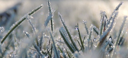 The first thawed droplet in a frosted garden