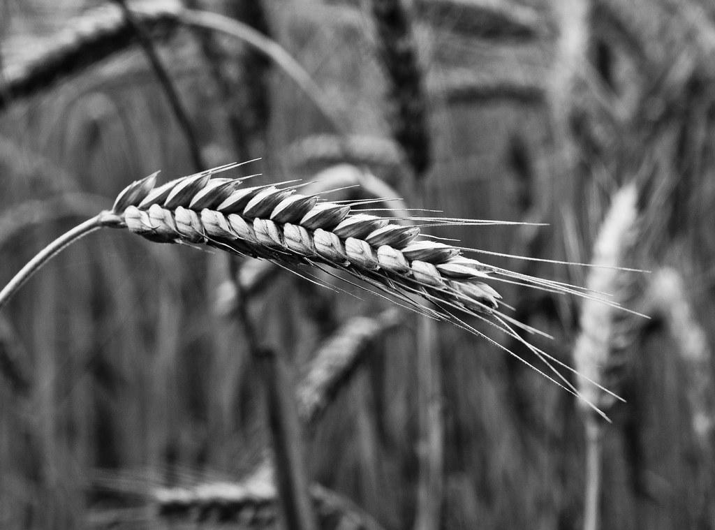 grain spike