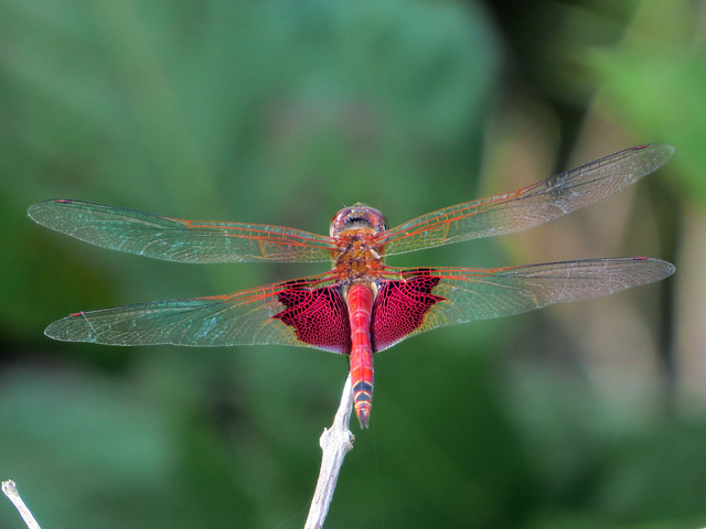 Red Saddlebags (Tramea onusta) male