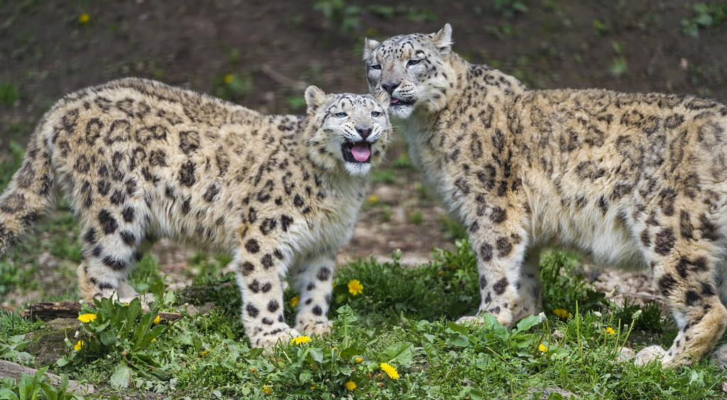 Two happy snow leopards!