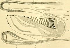 """Image from page 310 of """"Zeitschrift für wissenschaftliche Zoologie"""" (1912)"""