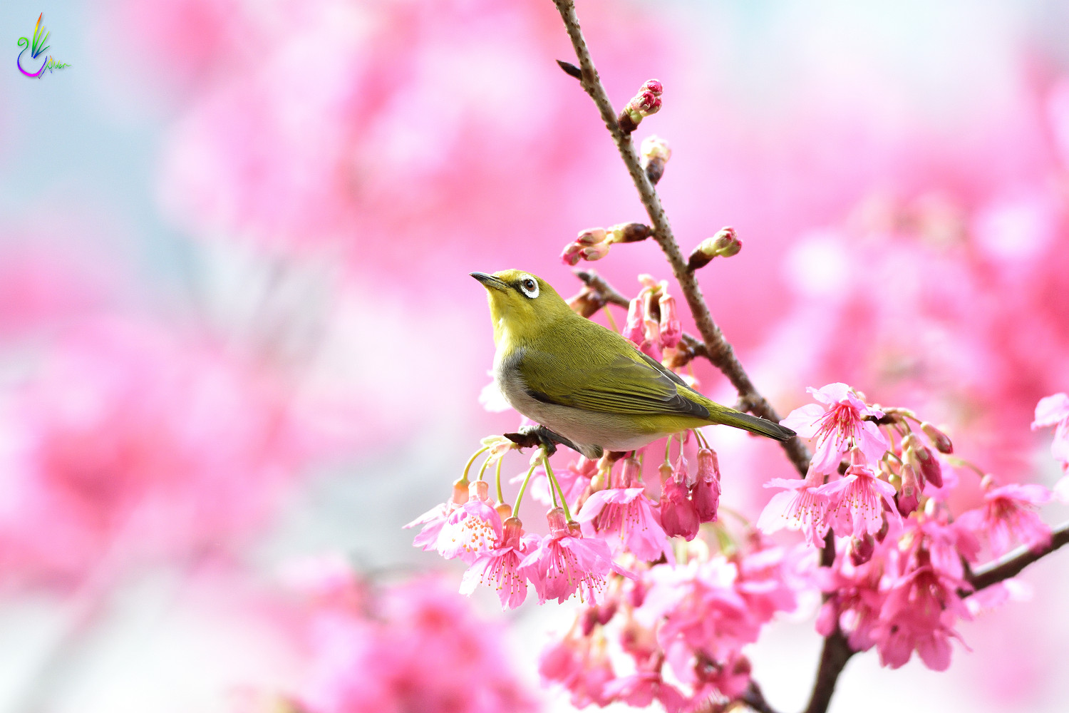 Sakura_White-eye_7894