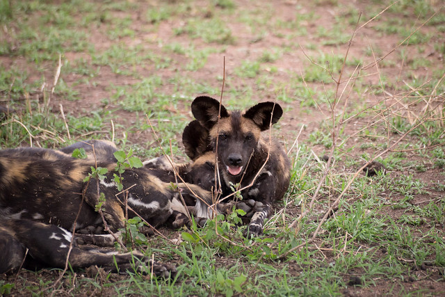 The Wild Dogs - The Serengeti