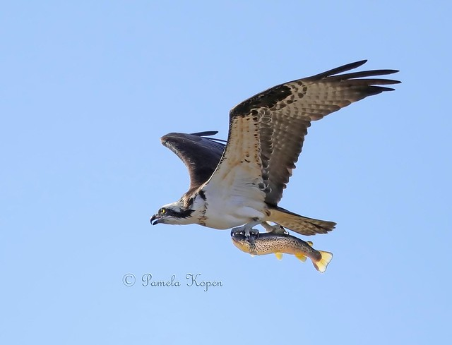 Flying with dinner, Osprey, Canon EOS-1D X MARK II, Canon EF 800mm f/5.6L IS