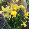A host of #golden #daffodils : #spring #London #garden