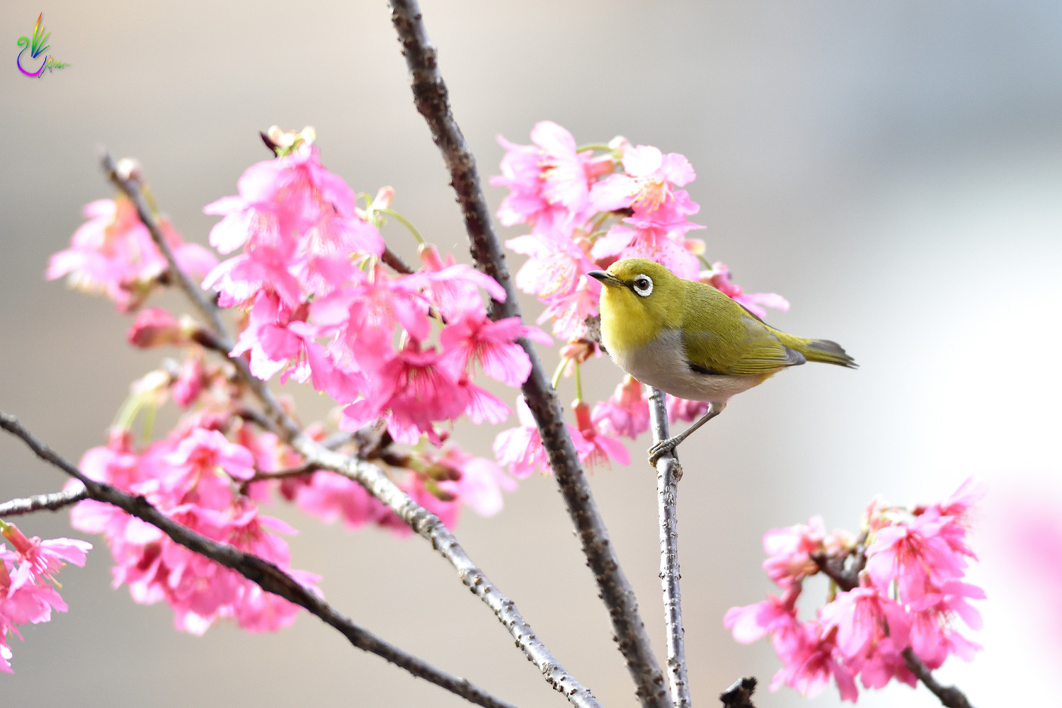 Sakura_White-eye_7833