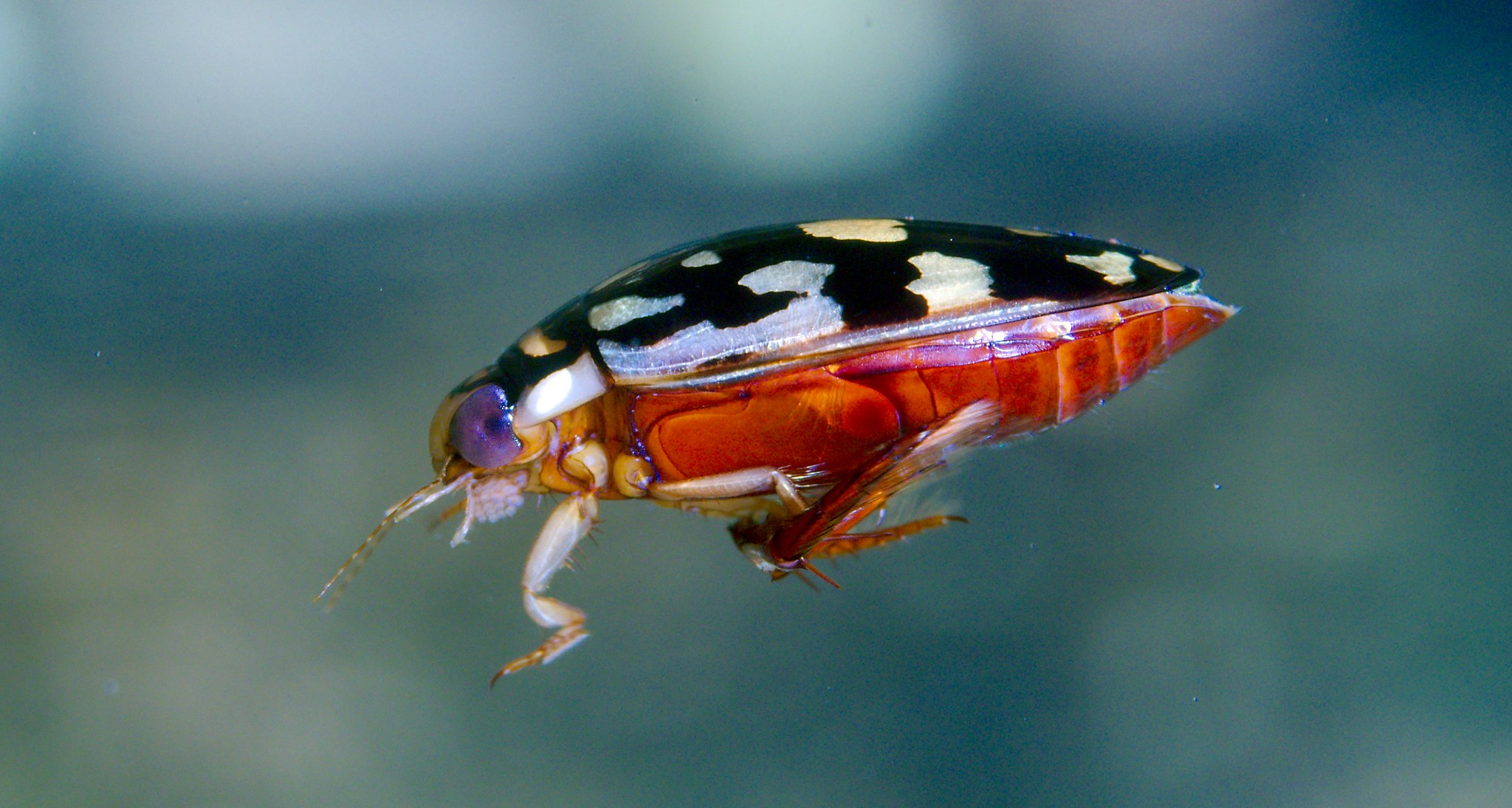 Diving Beetle_2