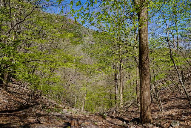 横倉林道へ向けて山道を下っていくと木々が芽吹き始める
