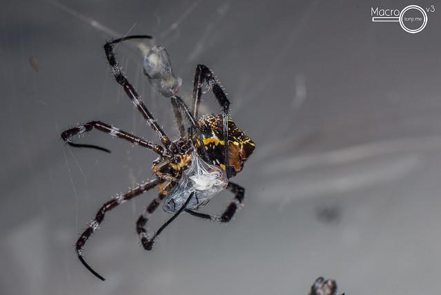Argiope cf. modesta immobilizing a blowfly 3